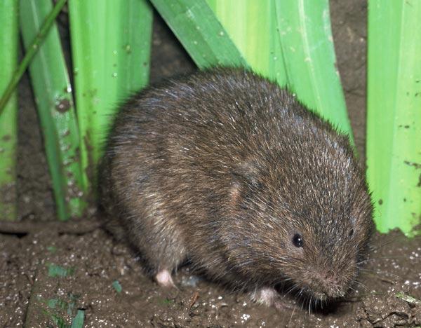 Водяная крыса - огородный вредитель