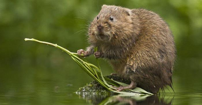 Водяная крыса - вредитель сада