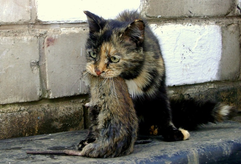 порода кошек крысолов фото