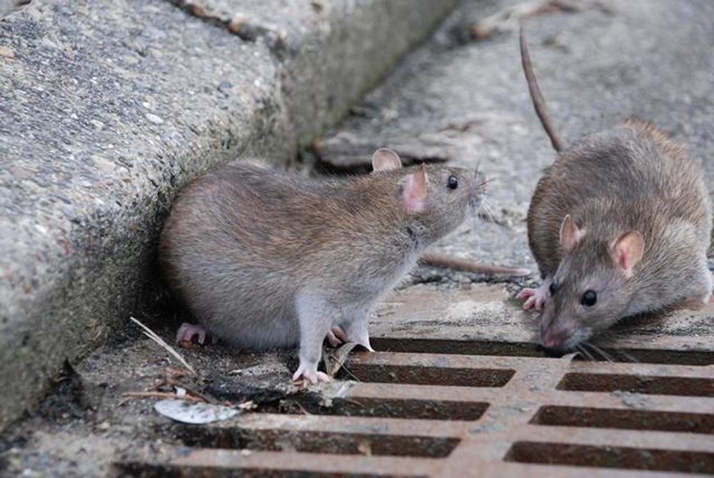 Львовяне сообщают о полчищах огромных крыс